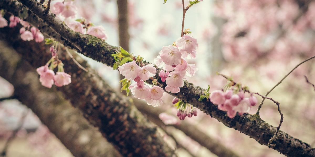Frühlingsbeginn Gauting Kirschblüten